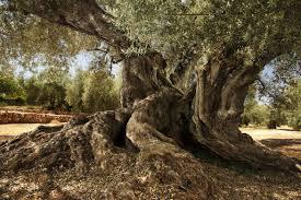 oliveres